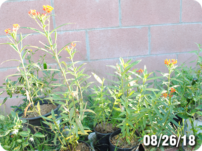milkweed plant for monarch butterfly