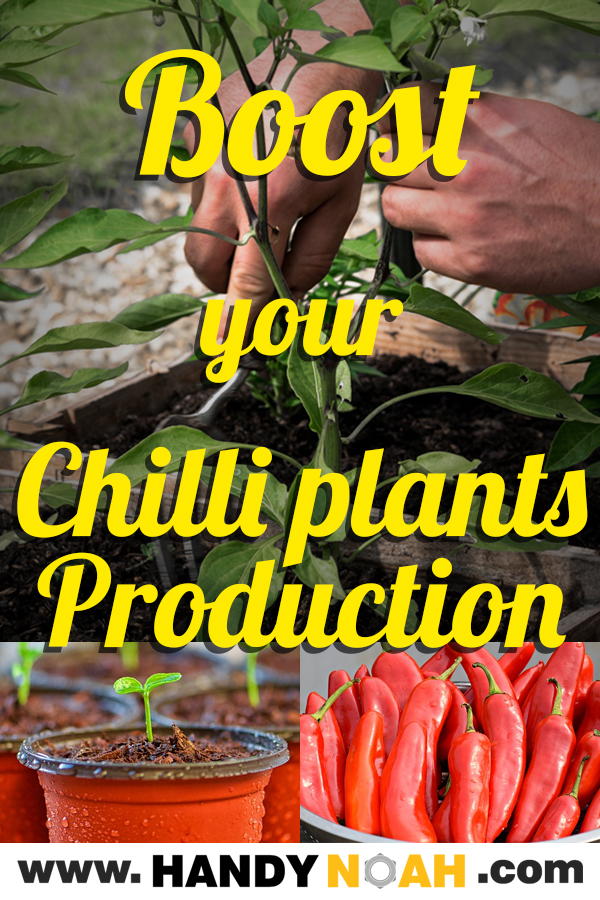 On this post I'll share what I do to help my chilli plants to produce better and more chillies. This method will boost an early production of chillies this year